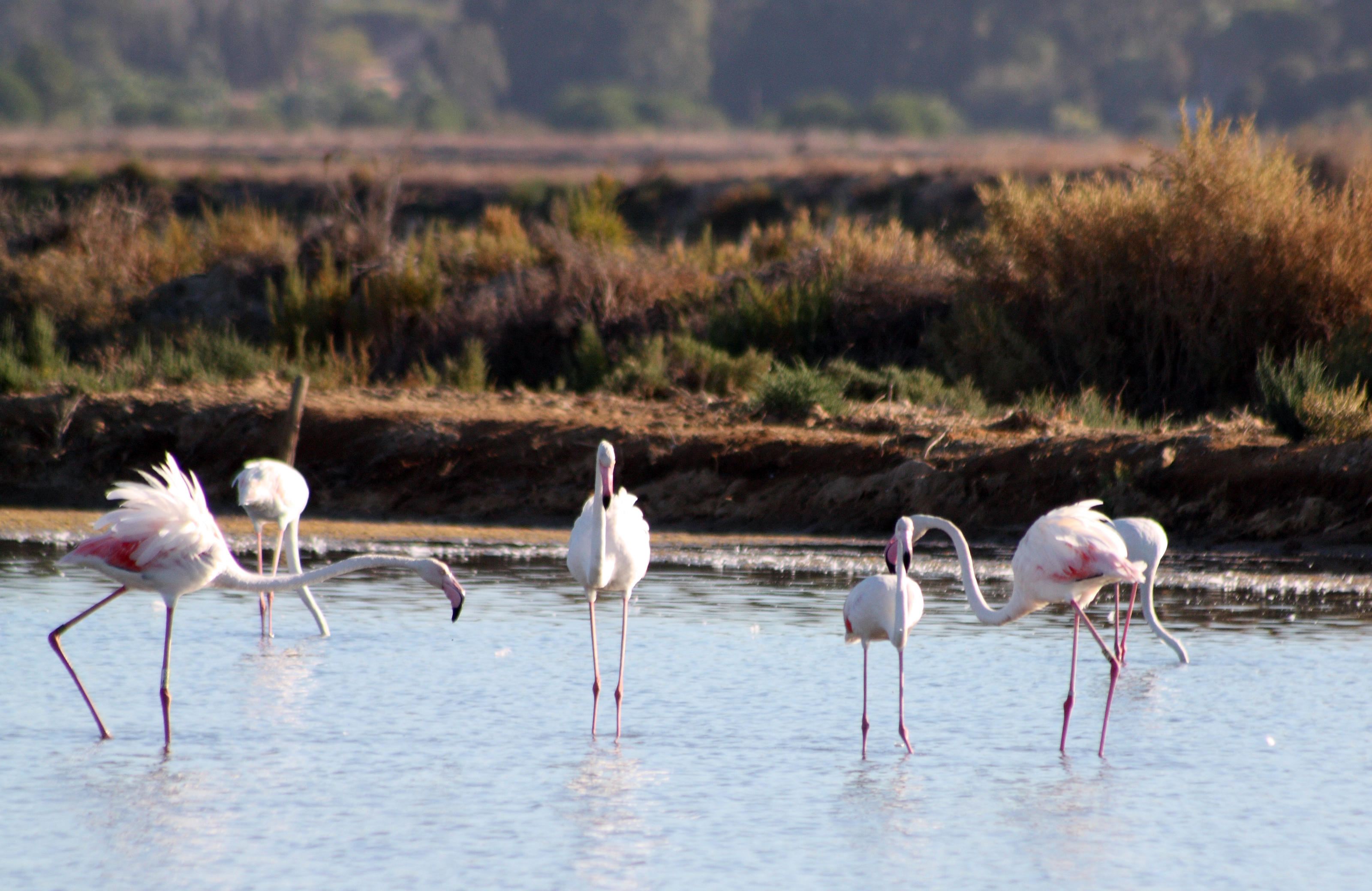 Greater Flamingos in Ria Formosa Nature Park